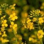 Brassica-napus