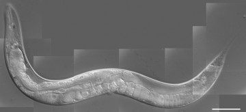 Caenorhabditis-elegans-1024x467
